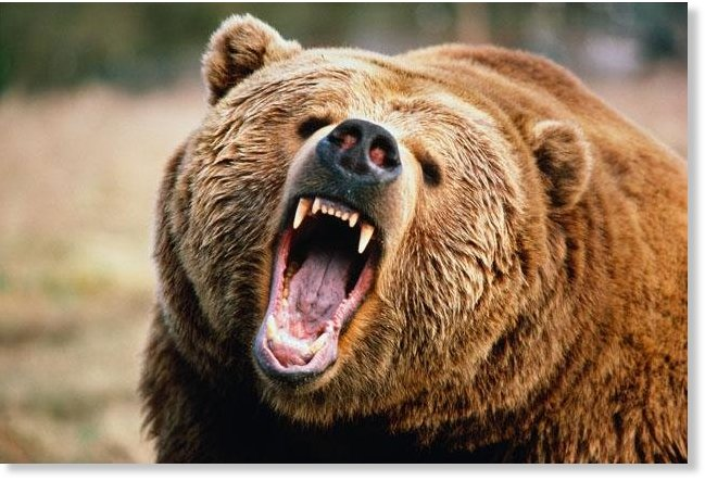 Angry_Bear_Grizzly.jpg